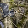 Graureiher im Kölner Zoo. Es wird wieder fleißig Nistmaterial gesammelt