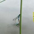 Große Pechlibellen - Paarungsrad