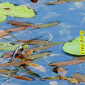 Große Königslibelle, Eiablage