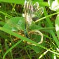 Große Pechlibelle frisst andere Kleinlibelle