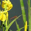 Frühe Heidelibelle, Männchen