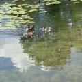 Nilgänse am Waldsee bei Viernheim