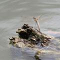 Großer Blaupfeil, Weibchen legt Eier auf die Wasserfläche ab, das Männchen sichert und überwacht die Eiablage