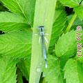 Blaue Federlibelle, Männchen - Marbach-Stausee