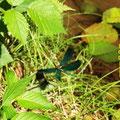 Blauflügel-Prachtlibellen, Männchen versucht Annäherung beim Weibchen