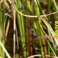 Schwarze Heidelibelle, altes Männchen
