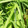 Blaue Federlibelle, Männchen - Fischteiche Lingklingen bei Weiher