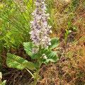 Eine sehr seltene Orchidee: Bockriemenzunge blüht am Heppenheimer Schlossberg