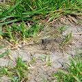 Frühe Heidelibelle, Weibchen