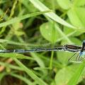 Blaue Federlibelle, Männchen - Fischteich Kreiswald bei Rimbach