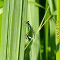 Große Pechlibellen, Paarungsrad