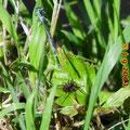 Blaue Federlibelle, Männchen und Spinne