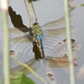 Große Königslibelle, Eier werden unter der Wasseroberfläche in Pflanzenteilen abgelegt (eingestochen).