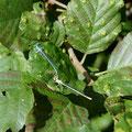 Blaue Federlibelle, Tandem - Niederwaldsee
