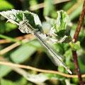 Blaue Federlibelle, Weibchen - Marbach-Stausee