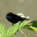 Blauflügel-Prachtlibelle