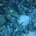 Lobsters, Cozumel