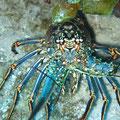 Lobster, Cozumel