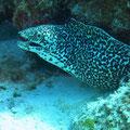 Moray eel, Cozumel