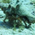 Hermit crab auf Spaziergang, Cozumel