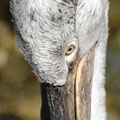pelican, bern, sui