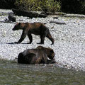 grizzly, bc, canada