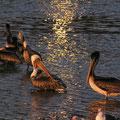 pelican, malibu, ca, usa