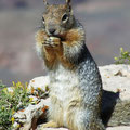 squirrel, grand canyon, az, usa