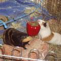 Paprika gefüllt (mit Heu und Kräutern) und dann aufgehangen