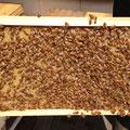巣礎枠完成品に群がる働蜂
