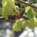 花粉荷をつけたミツバチ