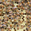 有蓋蜂児と王台