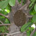 ニホンミツバチ蜂球