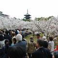 御室・仁和寺の桜は見事な満開  京都徳島県人会