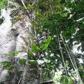 ab über die Baumwipfel des Regenwaldes
