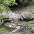 Galapagos-Schildkröten