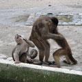 Kapuzineräffchen - wenn sie gerade mal nicht den Jakob attackieren