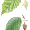 Hêtre et charme, fagus sylvatica , carpinus betula, illustration aquarelle
