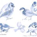 mésange bleue Cyanistes caeruleum, aquarelle