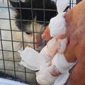 Autsch! Zimperlich sollte man beim Einfangen nicht sein – aber so läuft das natürlich nicht bei jeder Katze!