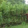 Biagne l'arbre de paix avec Blaise le président de Biagne-Cameroun