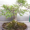 モミジ(盆栽)