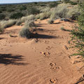 South Africa - Kgalagadi National Park Wilderness Trail - Lion footprints