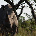 South Africa - Hluhluwe Imfolozi Park Wilderness Trail - White Rhino