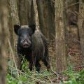 """Wienerwald Wildnis"" - Wildschwein (Sus scrofa)"