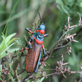 South Africa - Drakensberge World Heritage Site - Foam Grasshopper (Dictyophorus spumans)
