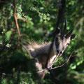 Gämsen (Rupicapra rupicapra) beobachten uns