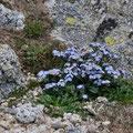 Myosotis corse - Massif du Monte Rinosu - 7 juillet 2013
