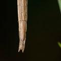 Clonopsis gallica - Buxerolles (86) - 4/08/2013
