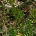 Gomphocarpus fruticosus (L.) W. T. Aiton  - Ile Rousse - 20/07/2013